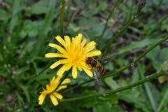 La abeja separó sus alas en una pequeña flor amarilla Imagen de archivo libre de regalías