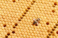 La abeja sola se arrastra en los panales, primer Foto de archivo