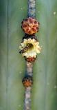 La abeja sube en la flor en un cactus Foto de archivo libre de regalías