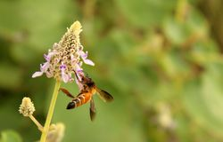 La abeja toma la miel en la flor salvaje con el fondo verde Fotografía de archivo libre de regalías