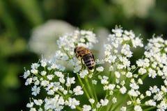 La abeja trabajadora recoge el néctar Fotos de archivo