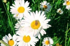 La abeja trabajadora recoge el néctar Imagen de archivo libre de regalías
