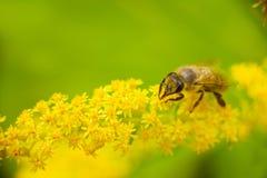 La abeja trabajadora recoge el néctar de las flores amarillas Fotos de archivo