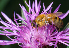 La abeja trabajadora recoge el polen en las flores rosadas Imagenes de archivo