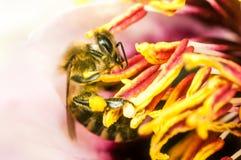 La abeja trabajadora recoge la miel de las flores Fotografía de archivo