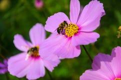 La abeja trabajadora trabaja en una flor - recoge el polen Fotografía de archivo libre de regalías