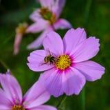 La abeja trabajadora trabaja en una flor - recoge el polen Fotos de archivo libres de regalías