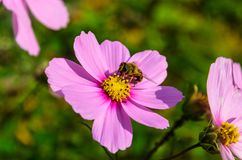 La abeja trabajadora trabaja en una flor - recoge el polen Foto de archivo libre de regalías