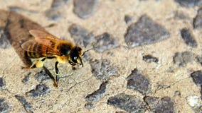 La abeja va zumbido del zumbido Imágenes de archivo libres de regalías