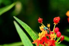 La abeja verde (Agapostemon) en milkweed del escarlata florece Fotos de archivo libres de regalías
