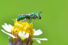 La abeja verde metálica de los splendens de Agapostemon se encaramó en la flor hermosa Fotos de archivo libres de regalías