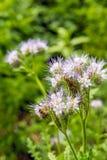 La abeja visita un phacelia de encaje floreciente púrpura del cierre Fotografía de archivo