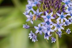 La abeja visita una verbena de la púrpura de babylon Fotos de archivo libres de regalías
