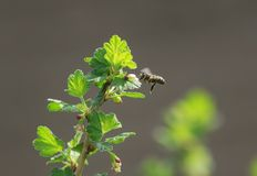 La abeja vuela alrededor de la pasa Bush en primavera temprana que poliniza i Imagen de archivo