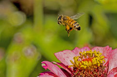 La abeja vuela de la floración de un Zinnia rosado Imágenes de archivo libres de regalías