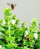 la abeja vuela en las flores de la albahaca Imagen de archivo