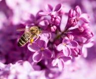 La abeja vuela en las flores de la lila Imagenes de archivo