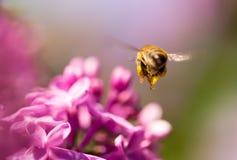 La abeja vuela en las flores de la lila Foto de archivo