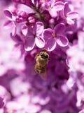 La abeja vuela en las flores de la lila Fotografía de archivo libre de regalías