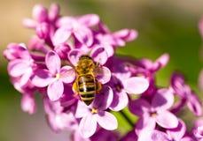La abeja vuela en las flores de la lila Imagen de archivo libre de regalías