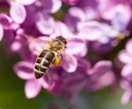 La abeja vuela en las flores de la lila Fotografía de archivo