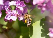 La abeja vuela en las flores de la lila Imágenes de archivo libres de regalías