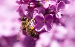 La abeja vuela en las flores de la lila Fotos de archivo libres de regalías