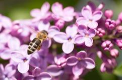 La abeja vuela en las flores de la lila Imagen de archivo