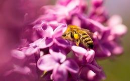 La abeja vuela en las flores de la lila Fotos de archivo
