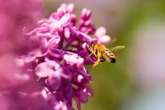 La abeja vuela en las flores de la lila Foto de archivo libre de regalías