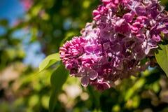 La abeja vuela en las flores de la lila flores púrpuras de la primavera de la lila en mayo, néctar de consumición de la pequeña a Foto de archivo libre de regalías