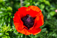 La abeja vuela en una amapola roja en un fondo verde en el jardín Imagen de archivo