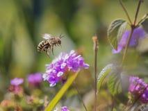 La abeja vuela en una flor rosada Fotos de archivo