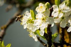 La abeja vuela hacia la flor del ciruelo Fotos de archivo