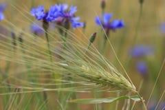 La abeja vuela hasta una flor salvaje azul Fotografía de archivo