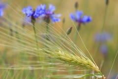 La abeja vuela hasta una flor salvaje azul Fotos de archivo
