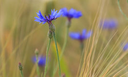 La abeja vuela hasta una flor salvaje azul Imagen de archivo libre de regalías