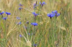 La abeja vuela hasta una flor salvaje azul Imagen de archivo
