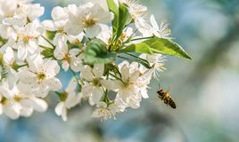 La abeja vuela a las flores en el cerezo en primavera en un fondo coloreado borroso Fotos de archivo libres de regalías
