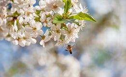 La abeja vuela a las flores en el cerezo en primavera en un fondo coloreado borroso Fotografía de archivo