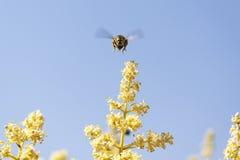 La abeja vuela para recoger el polen Fotografía de archivo