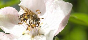 La abeja vuela Primer Fotos de archivo libres de regalías