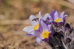 La abeja vuela sobre la flor de pasque púrpura hermosa en el día de primavera soleado Imágenes de archivo libres de regalías