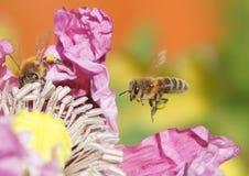 La abeja vuela a una flor Imágenes de archivo libres de regalías