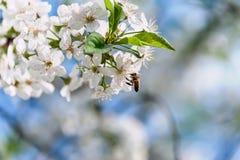 La abeja vuela y se sienta en una flor blanca de un árbol floreciente en un día de primavera soleado Copie el espacio Fotos de archivo