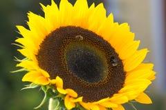La abeja y el abejorro recolectan junto el néctar Imagenes de archivo