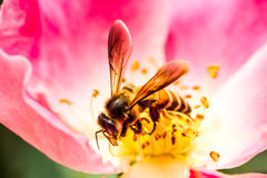 La abeja y el carpelo subieron en el chiangm agrícola real de Angkhang del tha Imagenes de archivo