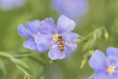 La abeja y el cosmos Imágenes de archivo libres de regalías