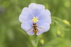La abeja y el cosmos Foto de archivo libre de regalías