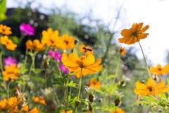 La abeja y el cosmos de la miel florecen en el jardín Fotografía de archivo